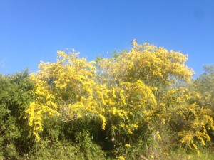 Mimosaträd i blom. Så vackert!
