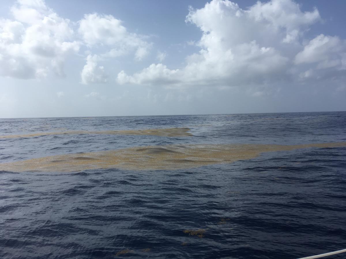 Stora sjok av tång i havet i mängder.