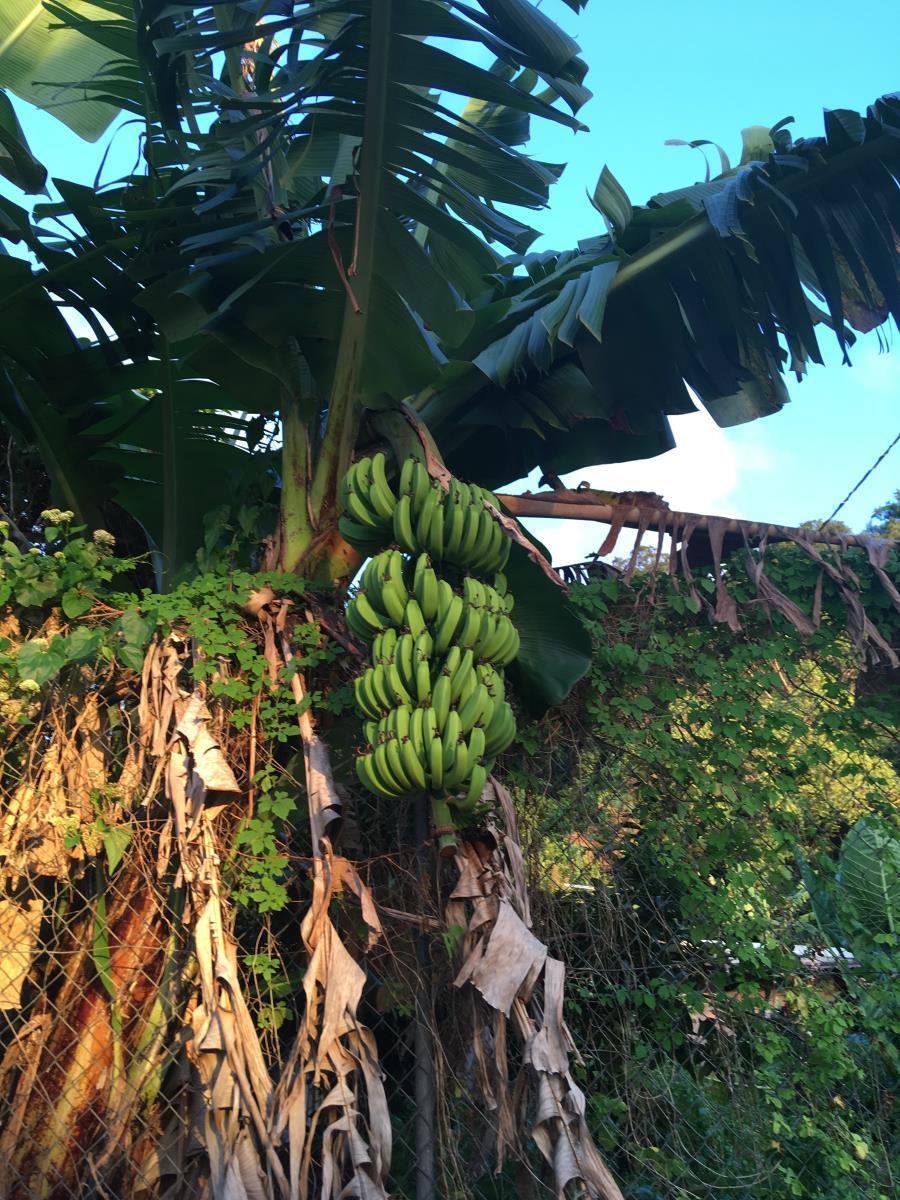 Frukter och grönska överallt. Här bananer.
