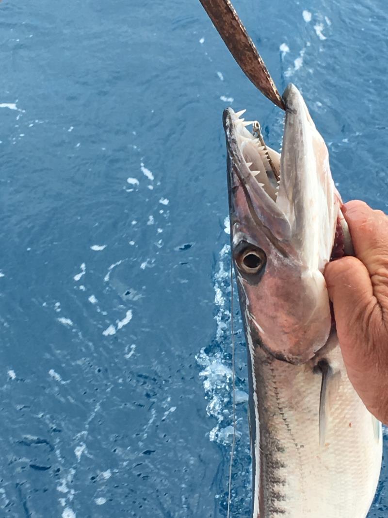 Napp av en barracuda! Vassa tänder och fick åka i spat igen.
