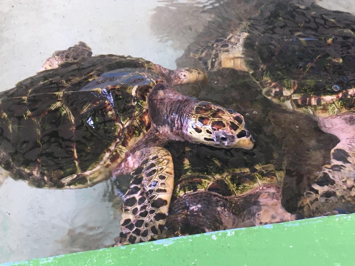 Havssköldpaddor i närbild.
