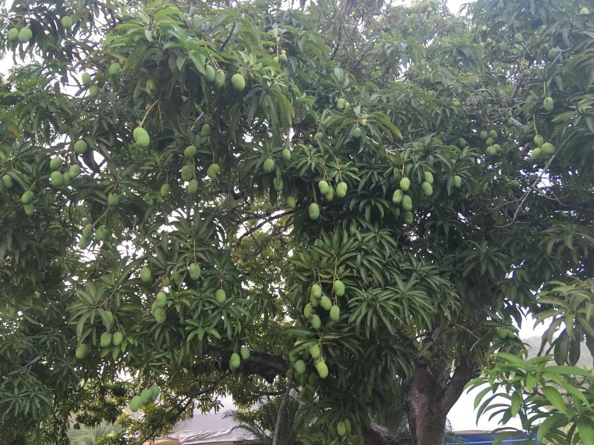 Mangoträd precis bakom S/Y Looma IV uppställningsplats och det finns överallt. Bara att plocka!