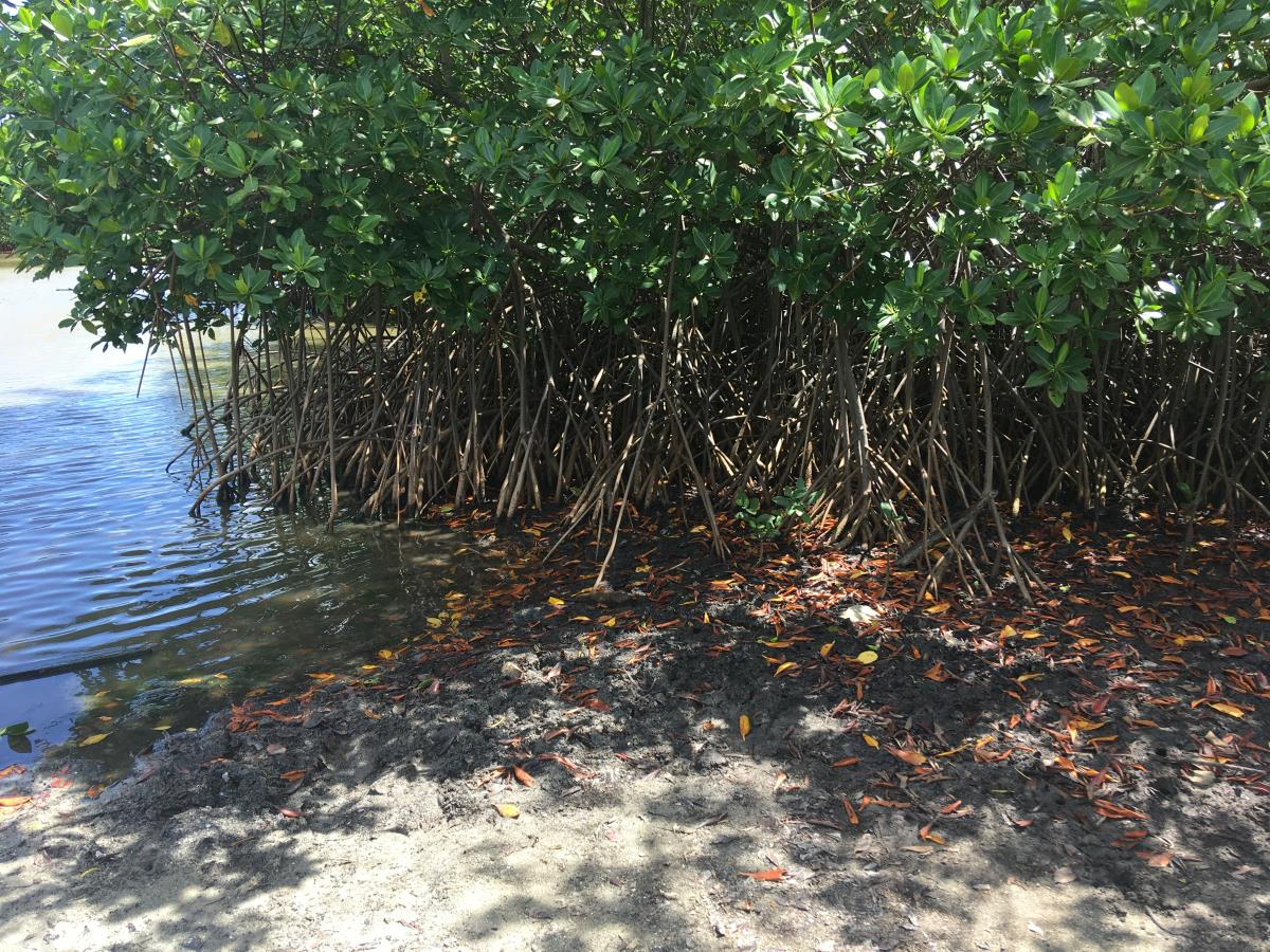 Mangroveträsk på ena sidan och havet på den andra.