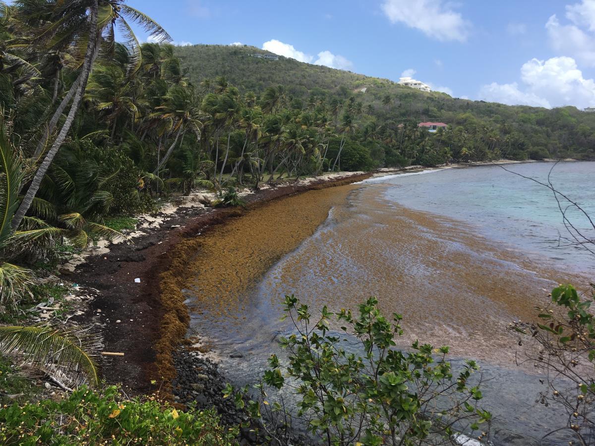 Saragassotång täcker stränderna på Bequias östra sida.
